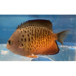 Rusty Angelfish Centropyge...