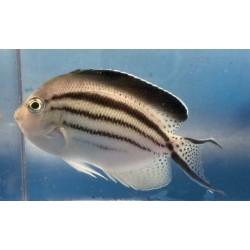 Lamarck Angelfish