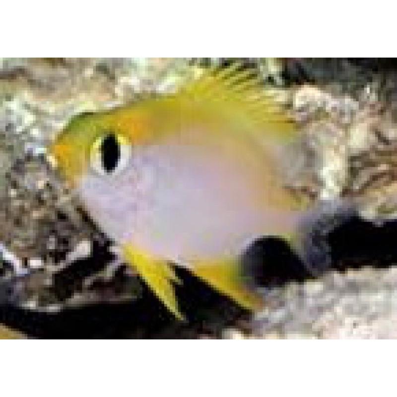 lemon chromis.jpg