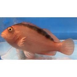 Flame Hawk Fish Artemus