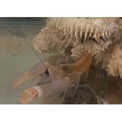 Blue Legged Pistol Shrimp -...