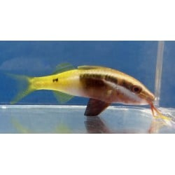 Bicolor Goatfish Parupeneus...