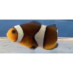 MochaVinci Clownfish Grade B