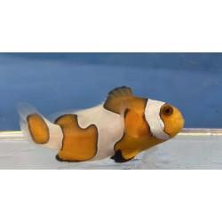 Photon Black Clownfish...