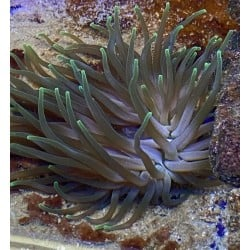 Green Condy Anemone...