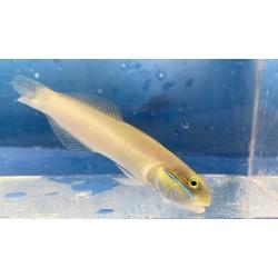 Gold Head Sleeper Goby Fish...