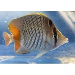 Pearlscale Butterflyfish...