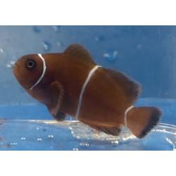 Captive Bred Maroon Clownfish