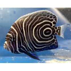 Emperor Angelfish Juvenile...