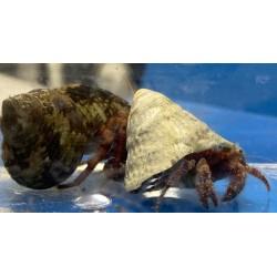 Starry Hermit Crab - Large