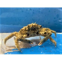 Common Spider Decorator Crab