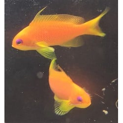 Orange Blue Eyed Anthias...