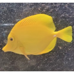 Matured Yellow Tang...