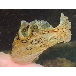 Seahare Spotted (Aplysia...