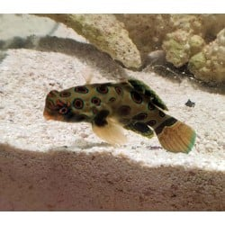 Spotted Mandarin Goby...