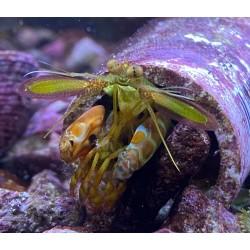 Peacock Mantis Shrimp...