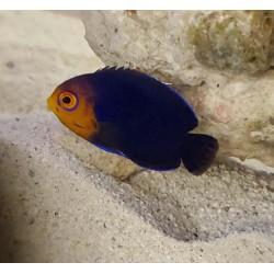 Pygmy Cherub Angelfish...