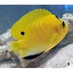 Flagfin Angelfish