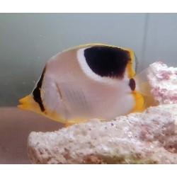 Saddleback Butterflyfish...