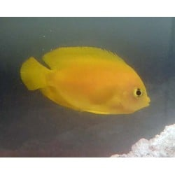 Yellow Angel Fish -...