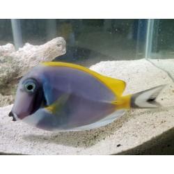 Powder Blue Surgeonfish...