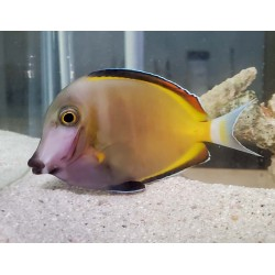 Powder Brown Surgeonfish...