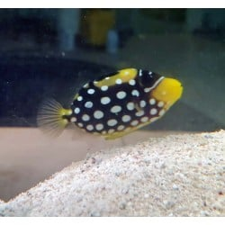 Clown Triggerfish...