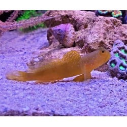 Yellow Watchman Goby...