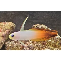 Red Firefish Goby...