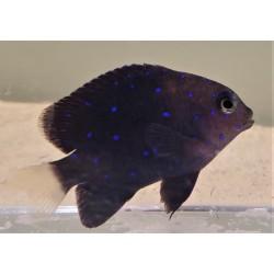 Saltwater Fish For Sale Marine Fish For Saltwater Aquariums Online