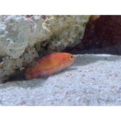 Crescent Tail Fairy Wrasse...