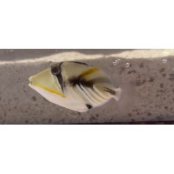 Humu Humu Triggerfish