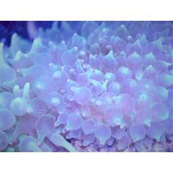 Green Bubbletip Anemone w/...