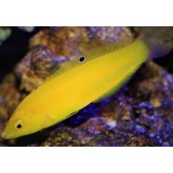 Yellow Coris Wrasse...