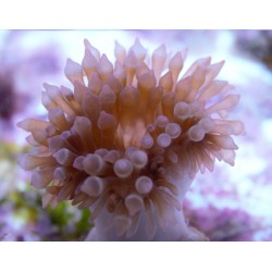 Pink Bubble Tip Anemone