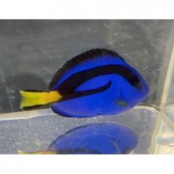 Blue Hippo Tang63.jpg