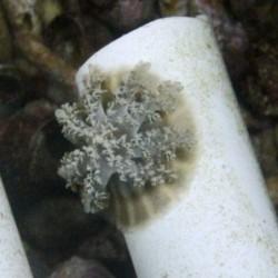 Cassiopea Jellyfish69.jpg