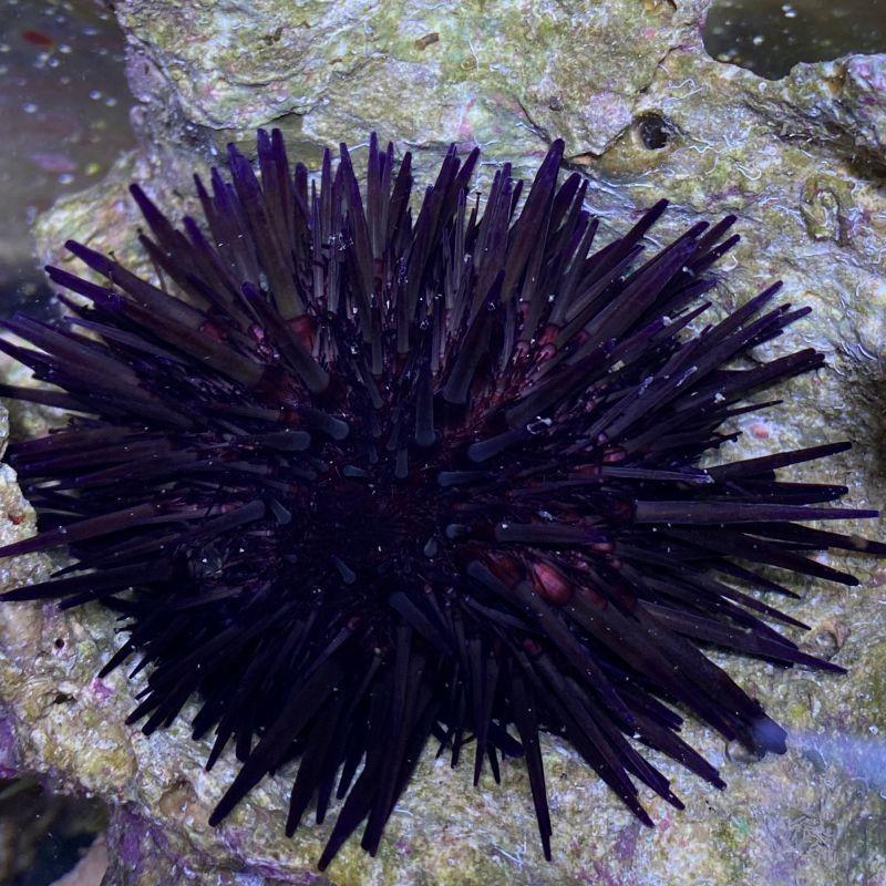 red.blk urchin.jpg