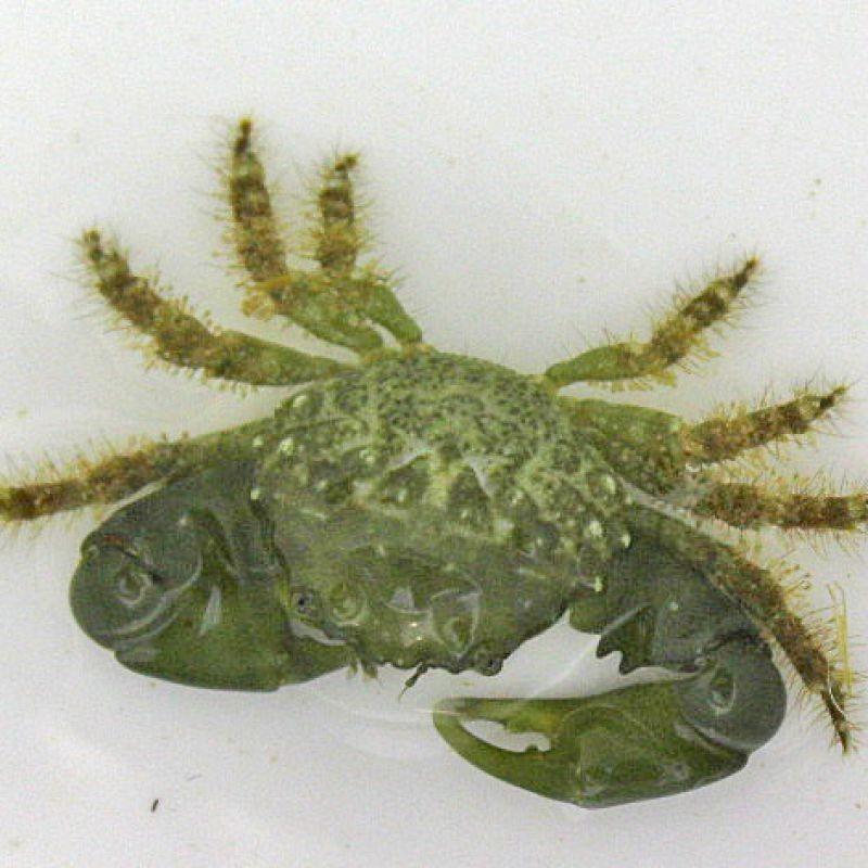 emerald crab.jpg