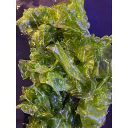Live Lettuce Algae