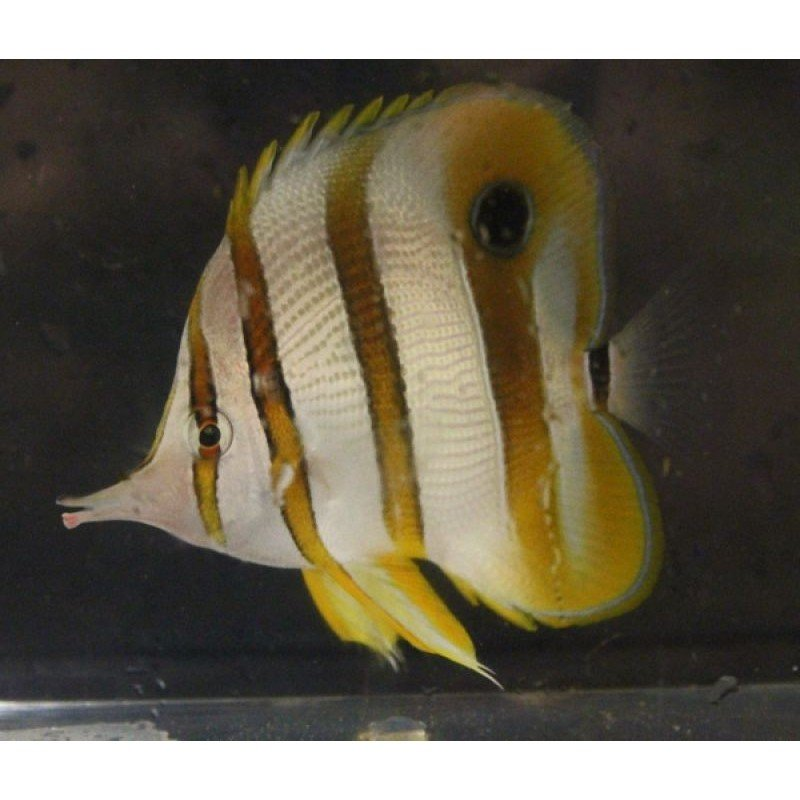 Copperband Butterfly Fish25.jpg