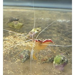 Skunk Cleaner Shrimp