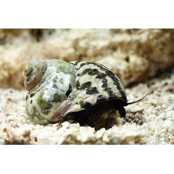 Zebra Mexican Turbo Snails
