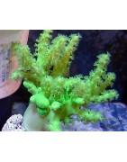 Aquacultured Corals