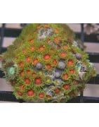 Zoanthid and Polyp Corals