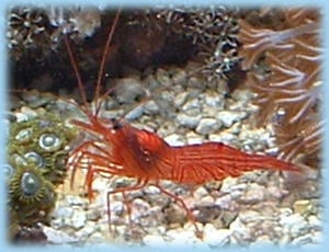 Peppermint shrimp are a frequent addition to a saltwater tank to control aiptasia. Unfortunately, they frequently fail to eat aiptasia. They are an aggressive predator to Berghia nudibranchs.