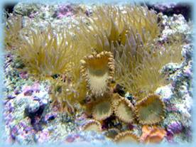 Aiptasia anemones will quickly multiply on live rock and kill saltwater corals.