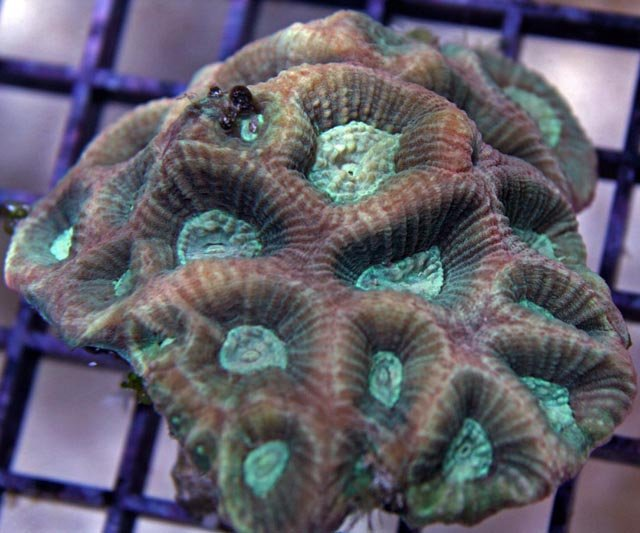 This Australian Prism Favia Coral is massive and dome-shaped, as is common to most faviids.