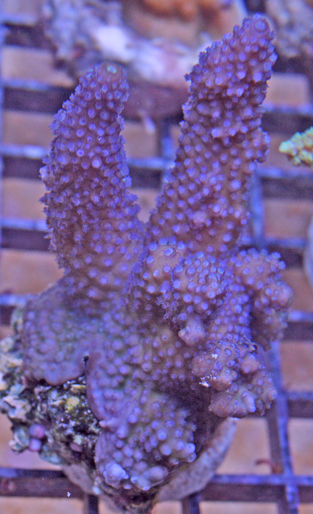 When this aquacultured Acropora humilis matures, it will grow into a table.