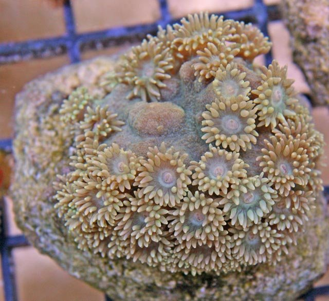 This Pagoda Cup Coral (Turbinaria patula) can have a lot of mucus and should be kept free of debris.